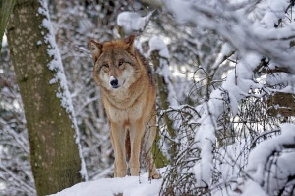 Опасный иголодный волк замечен наСофийской улице вПетербурге